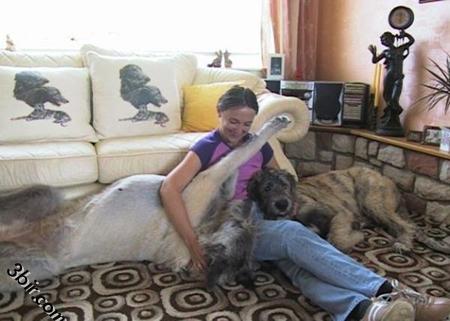 اكبر الكلاب بالعالم