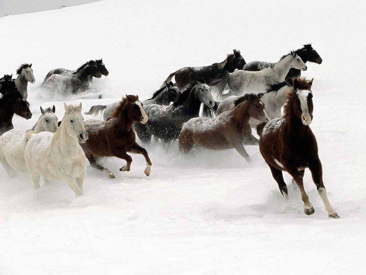 خيول في الثلج - صور حيوانات