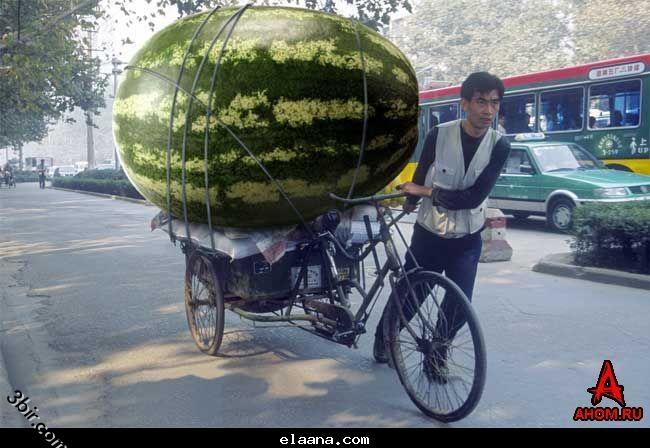 جوفوا البطيخه