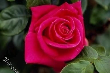 صور ورود وزهور ورد طبيعي جميلة - ج2