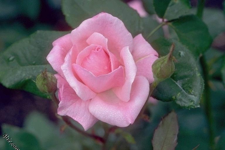 صور الورود والزهور ورد طبيعي زهور جميلة - ج 7