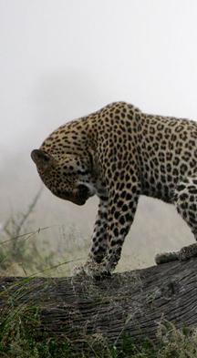 نمور - صور حيوانات