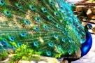 صور ريش طاووس
