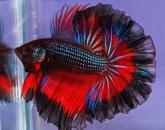 سمك الفايتر - صور حيوانات